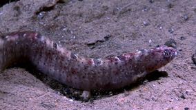 Eel pout mutton and star fish perciform on seabed underwater in White Sea. stock video footage