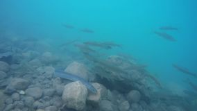 Eel swimming through blue water with Ather fish stock footage