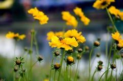 Eellow calendula. Be on a yellow calendula Royalty Free Stock Image