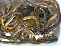 Eels on sale at Thai market Royalty Free Stock Photography