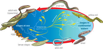 Eels. Vector illustration of Eels life cycle and migration Stock Images