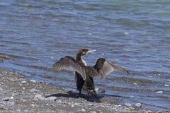 Een aalscholver droogt zijn vleugels, werd gezien in Nieuw Zeeland royalty-vrije stock afbeeldingen