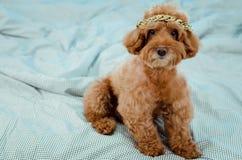 Een aanbiddelijke jonge bruine Poedelhond met gouden halsband die op zijn hoofd zetten en op slordig bed zitten royalty-vrije stock foto