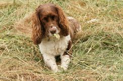 Een aanbiddelijke maar zeer ongehoorzame Engelse Hond van het Aanzetsteenspaniel tearing zijn bal aan stukken Royalty-vrije Stock Afbeeldingen