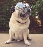 Een aanbiddelijke pug zitting in een park met vliegeniersbeschermende brillen op gestemd stock fotografie