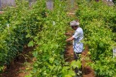 Een aanplanting van wijnstokken in klein dorp Lin stock fotografie