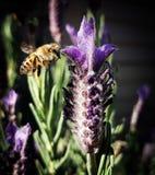 Een Aanraking van Lavendel Stock Foto's