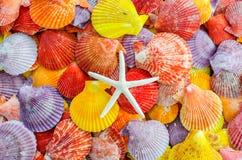 Een aantal Kleurrijke Kammosselzeeschelp en overzees spelen of de zeesterachtergrond mee Royalty-vrije Stock Foto's