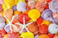 Een aantal Kleurrijke Kammosselzeeschelp en overzees spelen of de zeesterachtergrond mee Stock Foto's