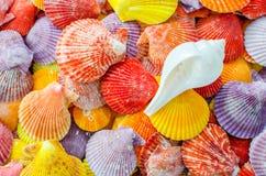 Een aantal Kleurrijke Kammosselzeeschelp en witte zeeschelpachtergrond Royalty-vrije Stock Foto's