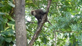 Een aap daalt van een boom in de wildernissen stock footage