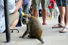 Een aap dichtbij mensen op de straat in Maleisië royalty-vrije stock foto