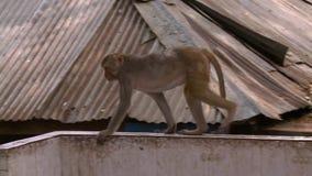 Een aap die op een muur lopen stock videobeelden