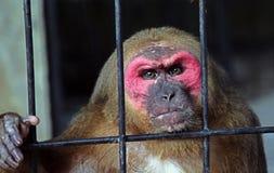 Een aap in een kooi in een dierentuin op het Eiland Koh Samui Stock Afbeeldingen