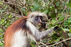 Een aap eet een boomtak Kirk ` s rode colobus Afrika, Zanzibar stock foto