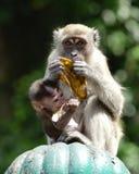 Een aap en haar Baby Stock Afbeelding