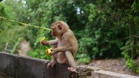 Een aap in het park zit en eet bananen Phangan, Thailand stock footage