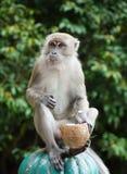 Een aap met een Kokosnoot Stock Foto's