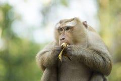 Een aap in Thailand die een banaan eten Stock Foto
