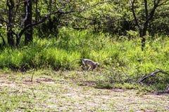 Een aap verspreidt zich over het gras stock foto's