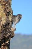 Een aap Vervet (pygerythrus Chlorocebus) gluurt uit Royalty-vrije Stock Foto