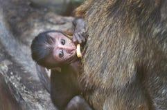 Een aapjong geitje Stock Afbeeldingen