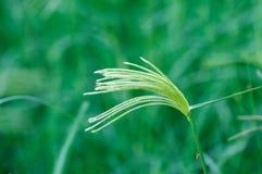 Een aar van het gras stock afbeeldingen