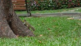 Een aardeekhoorn bij het park in Mekong Delta, Vietnam stock footage