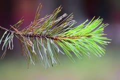 Een aardige nieuwe pijnboomtak Stock Foto