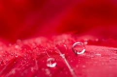 Een abstract beeld van rode kleuren pluizige veren met twee de macrodaling van de waterdauw, mooie natuurlijke achtergrond Stock Afbeeldingen