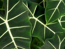 Grote groene bladeren stock fotografie