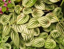 Witte bladeren met groene details. Stock Afbeelding