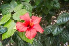 Een achtergrond met rode bloem van hibiscus op een groene struik Stock Afbeelding