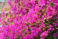 Een achtergrond met een tak van bloeiende roze violette kleurrijke boug stock foto