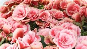 Een achtergrond van gevoelige rozen Zacht toe roze nam bevallig bloemen met onduidelijk beeld op verschillende plannen stock foto's