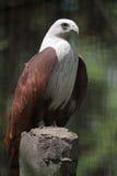 Een adelaar die zich Bravely bevindt Stock Foto's