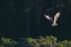 Een adelaar met volledig uitgebreide vleugels royalty-vrije stock foto's