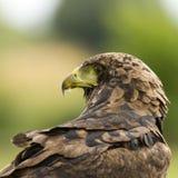 Een adelaar onderzoekt zijn omgeving bij een roofvogelmanifestatie Stock Foto's