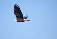 Een adelaar stijgt in blauwe hemel royalty-vrije stock fotografie