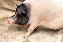 Een adolescentie zwart-wit pot doen zwellen varken loopt op de vloer stock foto