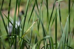 Een Afrikaanse Crain achter lang gras royalty-vrije stock afbeeldingen