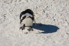 Een Afrikaanse die pinguïn, ook als een Domoorpinguïn wordt bekend Stock Afbeelding