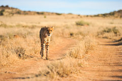 Een Afrikaanse jachtluipaard in beweging Stock Afbeelding