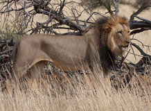 Een Afrikaanse Leeuw (Leeuw Panthera) in de wildernis. Royalty-vrije Stock Foto