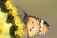 Een Afrikaanse monarchvlinder geniet van een drank van zoete nectar Royalty-vrije Stock Foto