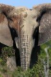 Een Afrikaanse olifant die met modder wordt geschilderd Stock Foto's