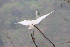 Een aigrette die in de hemel vliegen royalty-vrije stock afbeelding