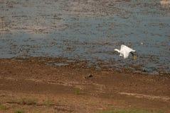 Een aigrette in Pilanesberg Stock Afbeeldingen