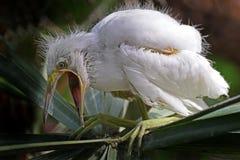 Een Aigrettekuiken squawks luid royalty-vrije stock afbeeldingen