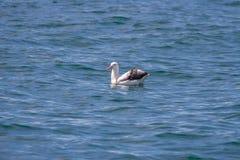 Een Albatros op een walvis het letten op reis in Kaikoura Nieuw Zeeland wordt gevonden dat Stock Foto's